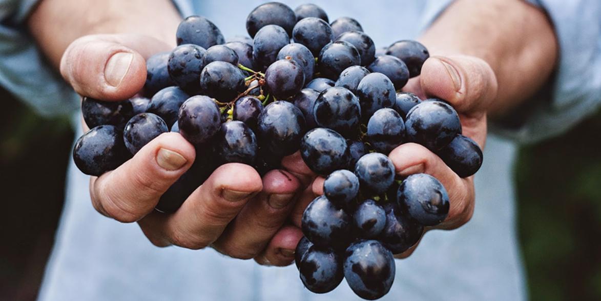 Biologische wijn plukken
